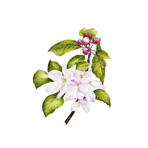 1152 Apple Blossom