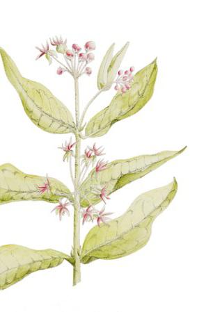 milkweed-ink