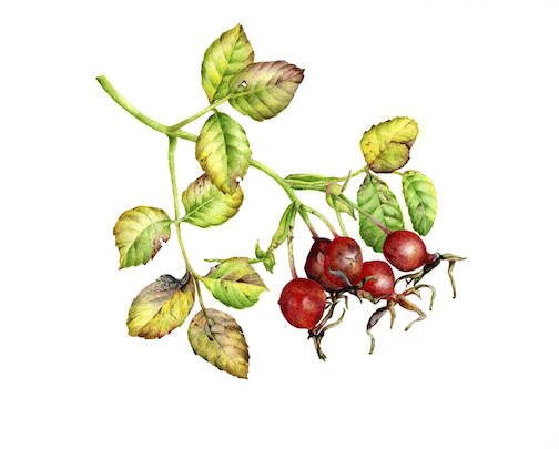 rosehips watercolour