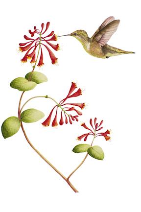 Hummingbird and Trumpet Vine